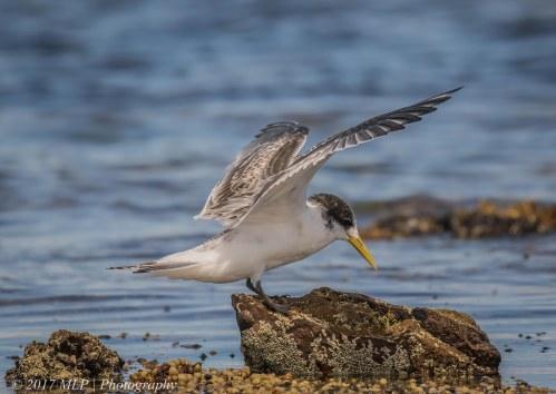 Juvenile Crested Tern, Rickett's Point, Beaumaris, Vic