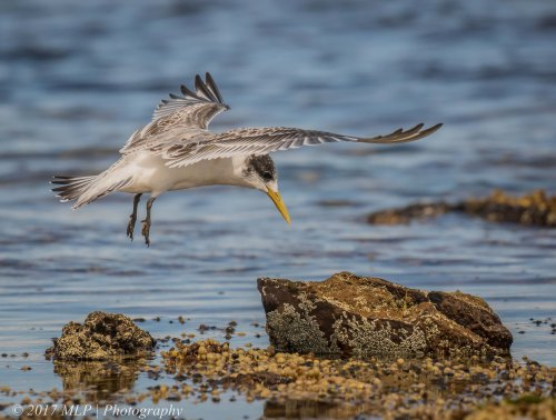Juvenile Crested Tern, Rickett's Point, Beaumaris, Vic
