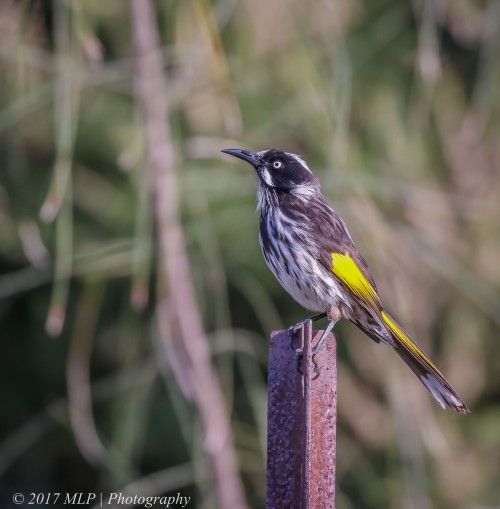New Holland Honeyeater, Jawbone Flora and Fauna Reserve, Williamstown, Vic