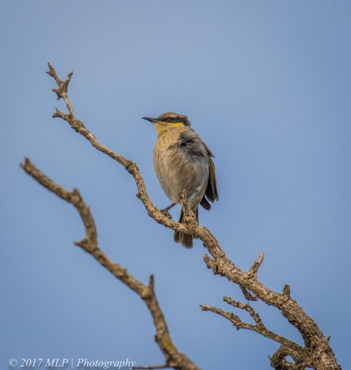 Singing Honeyeater, Cape Schanck, Mornington Peninsula National Park, Vic