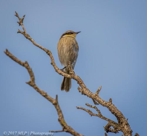 Singing Honeyeater, Cape Schanck, Mornington Peninsula National Park, Vic