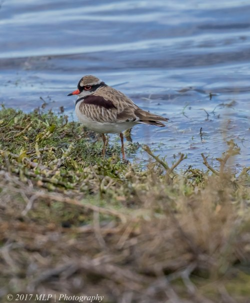 Black-fronted Dotterel, Jawbone flora and fauna reserve, WIlliamstown, Vic