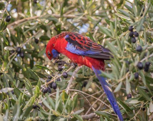 Crimson Rosella, Rosebud, Victoria, 30 July 2017