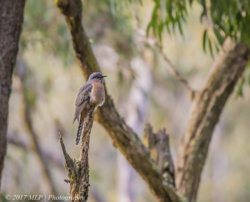 Fan-tailed Cuckoo, Greens Bush, Mornington Peninsula National Park, Vic