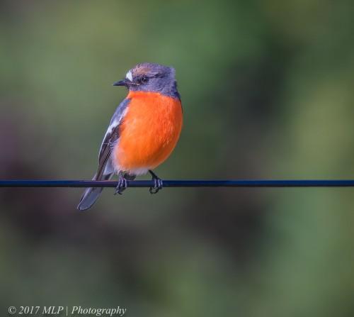Flame Robin, Seaford Wetlands, Seaford, Vic