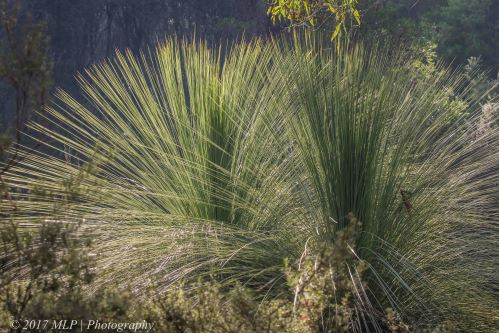 Grass Tree, Green's Bush, Mornington Peninsula, Vic