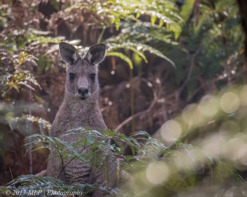 Grey Kangaroo, Green's Bush, Mornington Peninsula, Vic