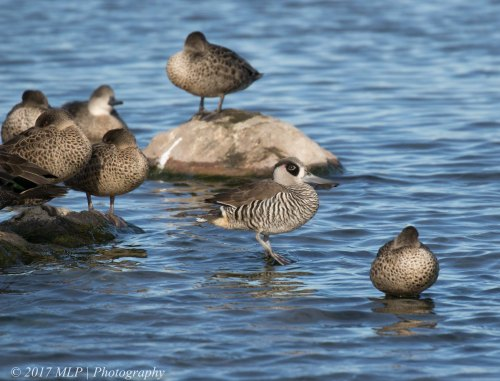 Pink-eared Ducks, Jawbone flora and fauna reserve, WIlliamstown, Vic
