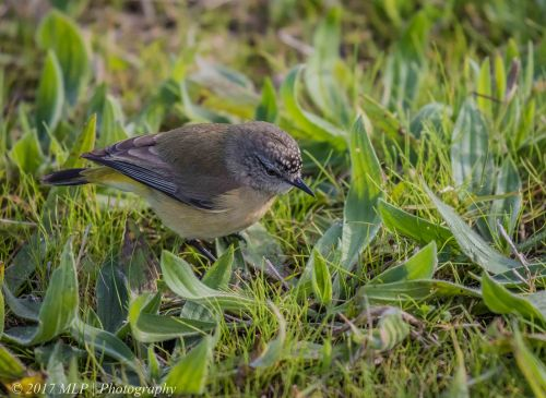 Yellow-rumped Thornbill, Jawbone Nature Reserve, Williamstown, Vic
