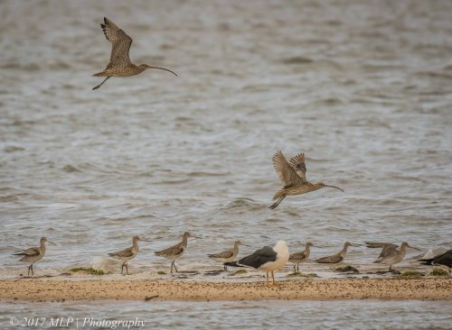 Eastern Curlews and Godwits at Stockyard Point, Jam Jerrup, Vic