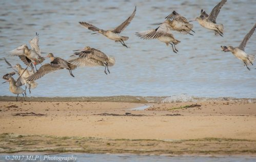 Godwits landing at Stockyard Point, Jam Jerrup, Vic