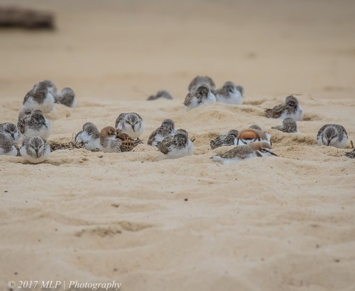 Little Stint and waders, Stockyard Point, Jam Jerrup, Vic