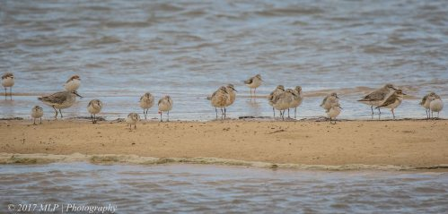 Waders at Stockyard Point, Jam Jerrup, Vic