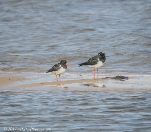 Oystercatchers_SIPO at Stockyard Point, Jam Jerrup, Vic
