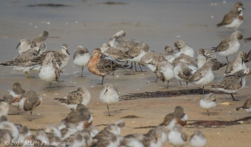 Red Knot and waders, Stockyard Point, Jam Jerrup, Vic