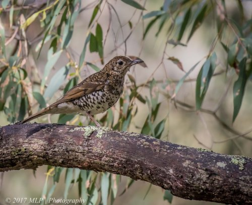 Bassian Thrush, Green's Bush, Vict