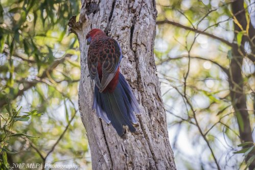 Crimson Rosella, Green's Bush, Vict