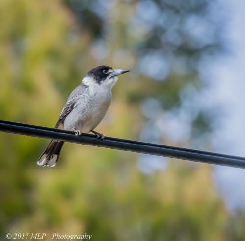 Juvenile Grey Butcherbird, McClelland Sculpture Park, Langwarrin, Vic