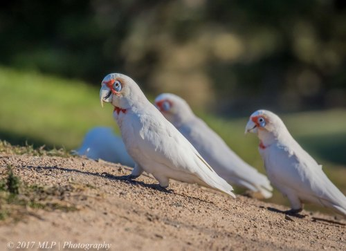 Long-billed Corellas, Elster Creek (golf course), Elsternwick, Vic