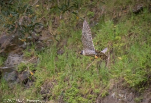 Peregrine Falcon, Moorooduc Quarry, Mt Eliza, Vic