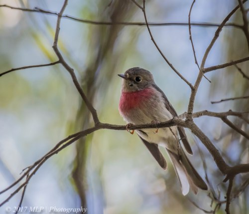 Rose Robin, Greens Bush (southern), Mornington Peninsula, Vic