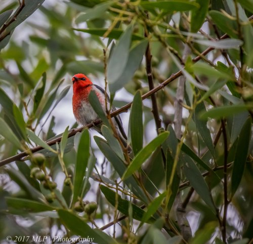 Scarlet Honeyeater, Greens Bush (southern), Mornington Peninsula, Vic