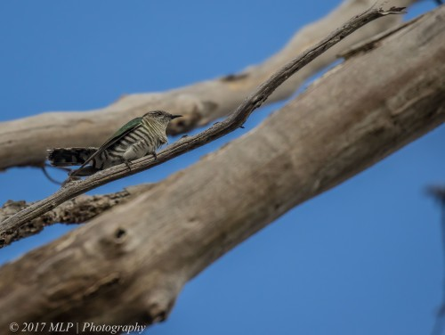Shining Bronze-cuckoo, Green's Bush (southern), Vict