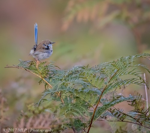 Superb Fairy-wren, Green's Bush (southern), Vict