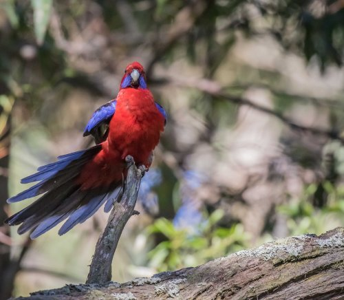 Crimson Rosella, Greens Bush, Mornington Peninsula National Park, Vict