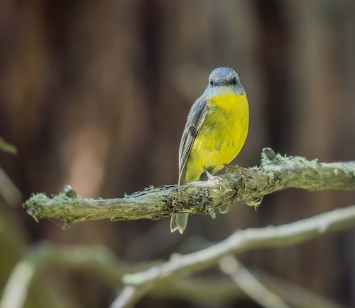 Eastern Yellow Robin, Greens Bush, Mornington Peninsula National Park, Vict