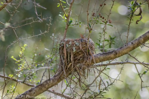 Eastern Yellow Robin nest, Greens Bush, Mornington Penninsula National Park, Vic