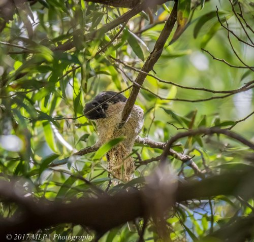 Grey Fantail, Greens Bush, Mornington Penninsula National Park, Vic