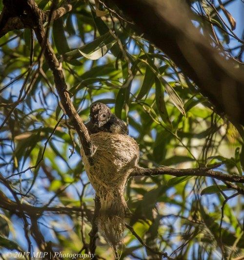 Grey Fantail, Greens Bush, Mornington Penninsula National Park, Vic