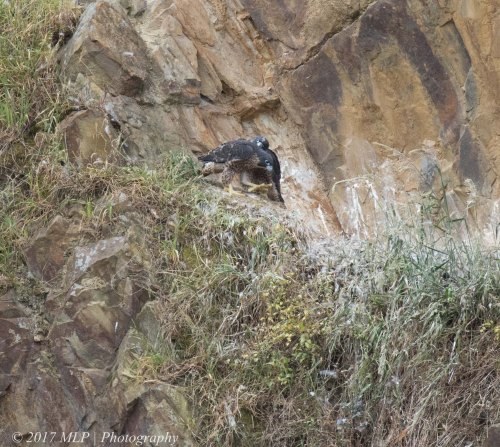 Juvenile Peregrine Falcons, Moorooduc Quarry, Mt Eliza, Vic