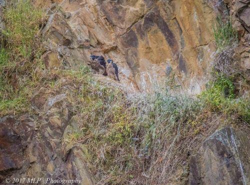 Juvenile Peregrine Falcons, Moorooduc Quarry, Mt Eliza, Vic
