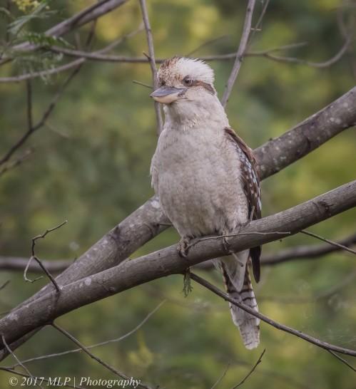 Kookaburra, Moorooduc Quarry, Mt Eliza, Vic