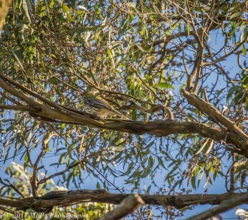 Olive-backed Oriole, Greens Bush, Mornington Penninsula National Park, Vic