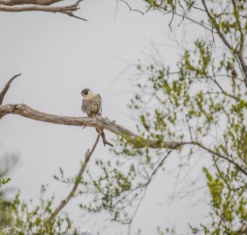 Peregrine Falcon, Moorooduc Quarry, Mt Eliza, Vic