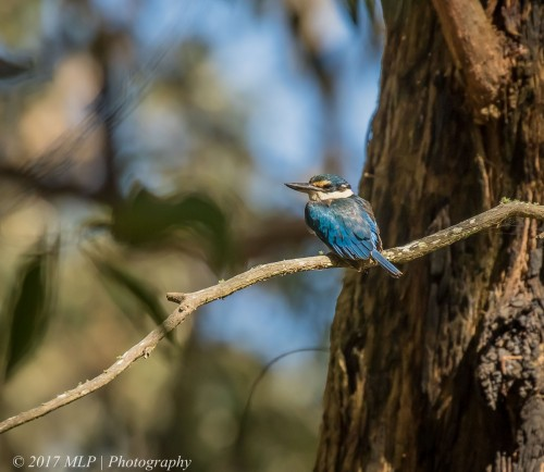 Sacred Kingfisher, Greens Bush, Mornington Penninsula National Park, Vic