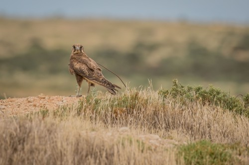 Brown Falcon, Lake Tutchewop, Kerang, Vic