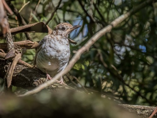 Juvenile Bassian Thrush, Greens Bush, Mornington Peninsula National Park, Vic