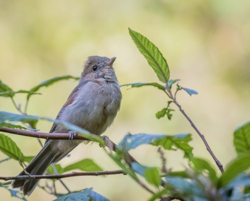 Juvenile Golden Whistler, Greens Bush, Mornington Peninsula National Park, Vic