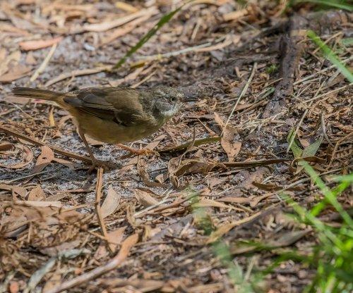 White-browed Scrubwren, Greens Bush, Mornington Peninsula National park, Vic,