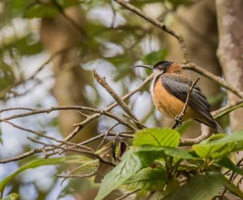 Eastern Spinebill, Greens Bush, Mornington Peninsula National park, Vic