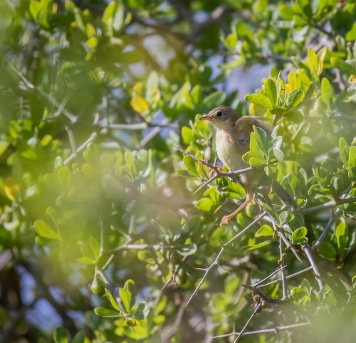 Juvenile Golden headed Cisticola, Tootgarook Wetlands, Tootgarook, Vic