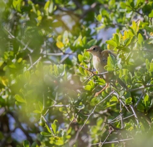 Juvenile Golden headed Cisticola, Tootgarook Wetlands, Tootgarook, Vic