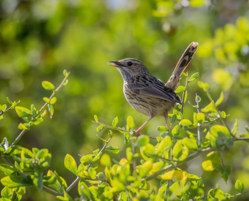 Striated Fieldwren, Tootgarook Wetlands, Tootgarook, Vic