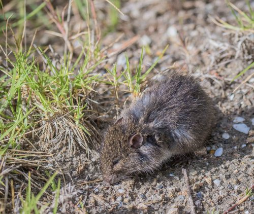 Swamp Rat, Tootgarook Wetlands, Tootgarook, Vic