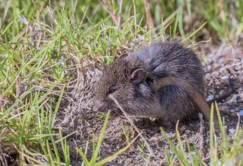 Swamp Rat, Tootgarook Wetlands, Tootgarook, Vic