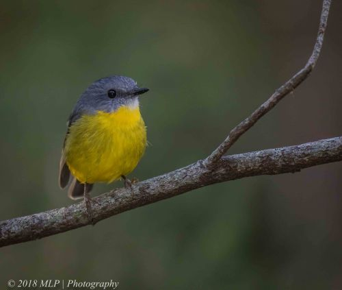 Eastern yellow Robin, Greens Bush, Mornington Peninsula National Park, Vic